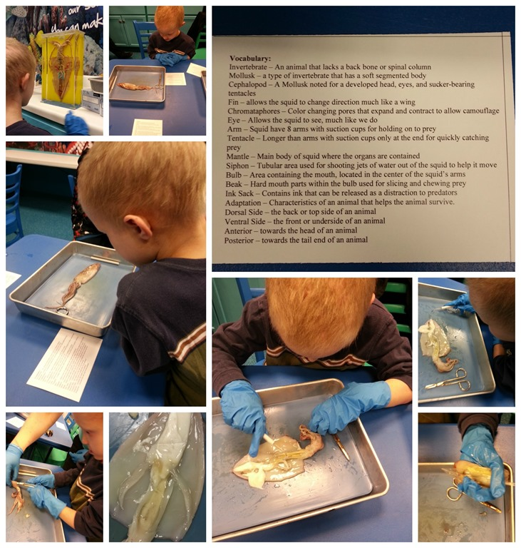 Squid Dissection at SeaLife