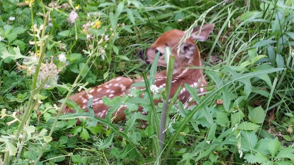 fawn on nature trail at thatbaldchick.com